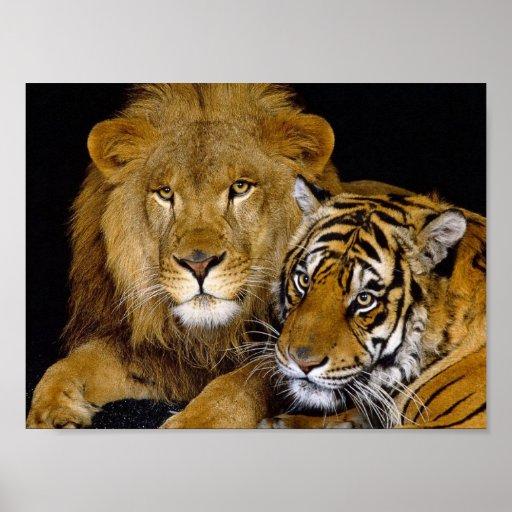 Lion & Tiger Poster