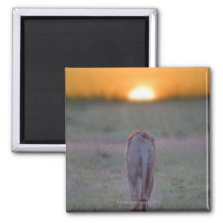Lion walking square magnet