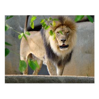 Lion Wildlife Postcard