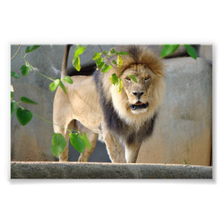Lion Wildlife Poster 6x4 Photograph