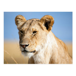 Lioness against blue sky postcard