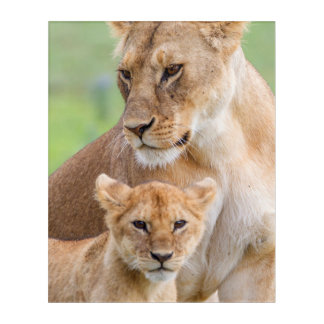Lioness and Lion Cub Acrylic Print