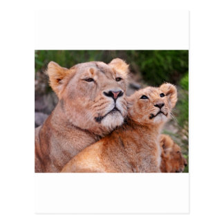 Lioness and Lion Cub Rest Before The Hunt Postcard