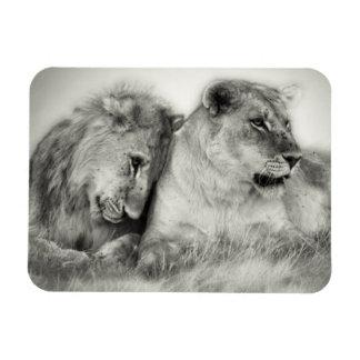 Lioness and son sitting and nuzzlingin Botswana Rectangular Photo Magnet