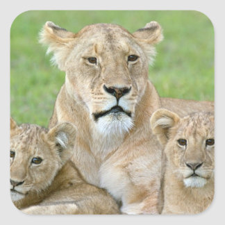 Lioness and Two Cubs, East Africa, Tanzania, Square Sticker