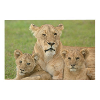 Lioness and Two Cubs, East Africa, Tanzania, Wood Print