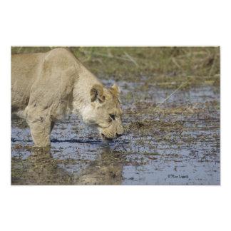 Lioness Drink 1 Photo Print