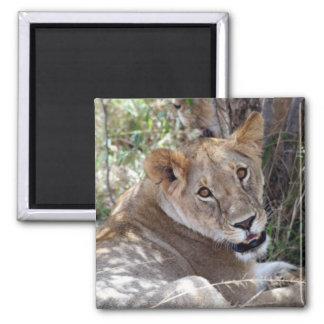 lioness face square magnet