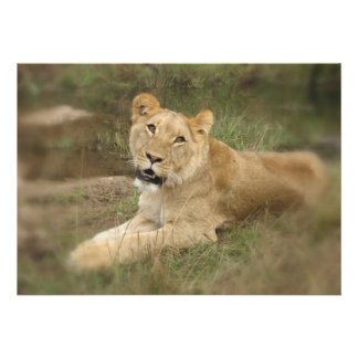Lioness Invitation