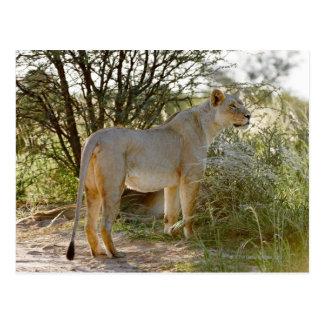 lioness lion, Panthera leo, Kgalagadi Post Cards