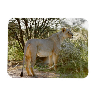 lioness lion, Panthera leo, Kgalagadi Rectangular Photo Magnet