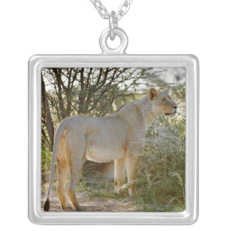 lioness lion, Panthera leo, Kgalagadi Silver Plated Necklace