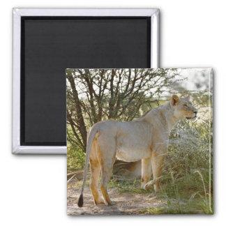 lioness lion, Panthera leo, Kgalagadi Square Magnet