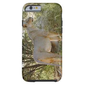 lioness lion, Panthera leo, Kgalagadi Tough iPhone 6 Case