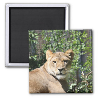 Lioness Magnets