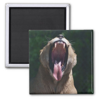 lioness mouth square magnet