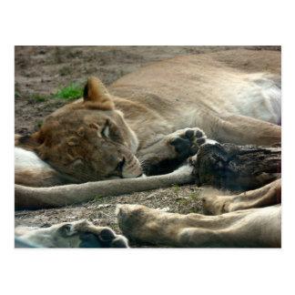 Lioness Nap Postcard
