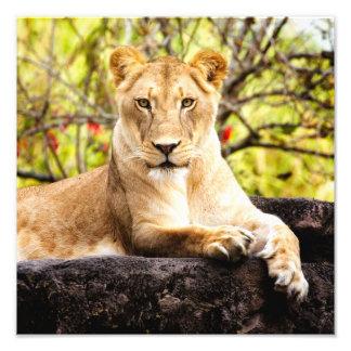 Lioness on the rocks art photo
