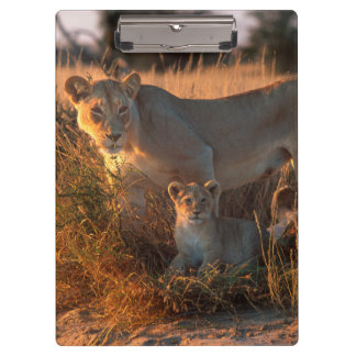 Lioness (Panthera Leo) And Cub Clipboard