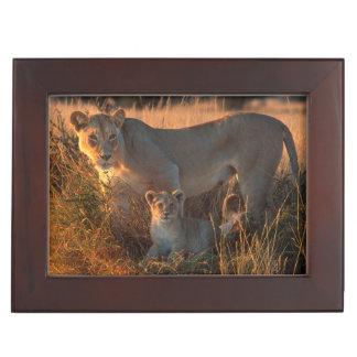Lioness (Panthera Leo) And Cub Keepsake Box