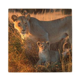 Lioness (Panthera Leo) And Cub Wood Coaster