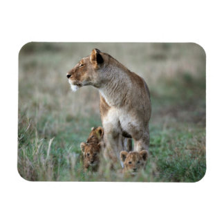 Lioness (Panthera leo) and cubs, Masai Mara Rectangular Photo Magnet