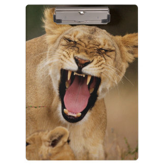 Lioness (Panthera Leo) Growling With Cub Clipboard