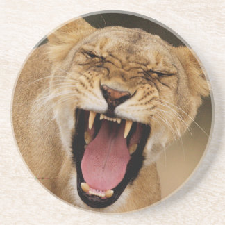 Lioness (Panthera Leo) Growling With Cub Coaster
