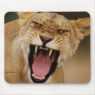 Lioness (Panthera Leo) Growling With Cub Mouse Mat