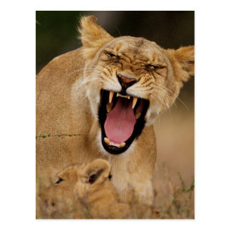 Lioness (Panthera Leo) Growling With Cub Postcard
