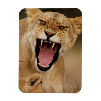 Lioness (Panthera Leo) Growling With Cub Rectangular Photo Magnet
