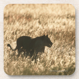 Lioness (Panthera leo) silhouetted in long grass Beverage Coaster