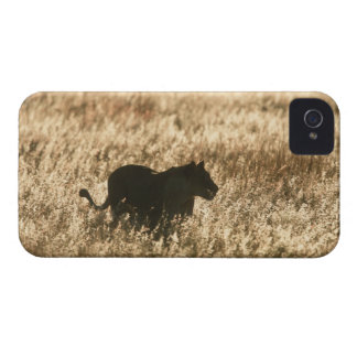 Lioness (Panthera leo) silhouetted in long grass Case-Mate iPhone 4 Cases