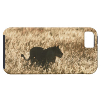 Lioness (Panthera leo) silhouetted in long grass iPhone 5 Covers
