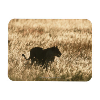 Lioness (Panthera leo) silhouetted in long grass Rectangular Magnets
