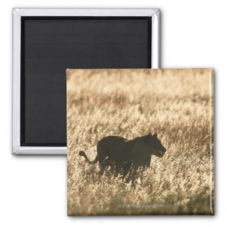 Lioness (Panthera leo) silhouetted in long grass Square Magnet
