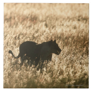 Lioness (Panthera leo) silhouetted in long grass Large Square Tile