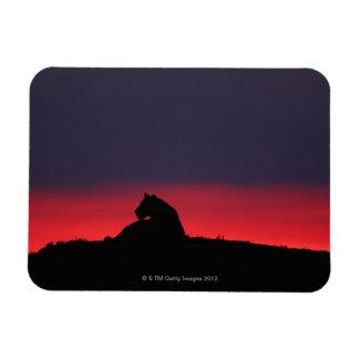 Lioness (Panthera leo) sitting, at sunset, Masai Rectangular Photo Magnet