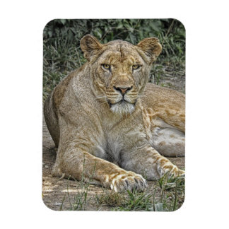 Lioness Rectangular Magnet