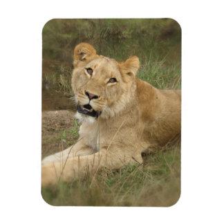 Lioness  Premium Magnet