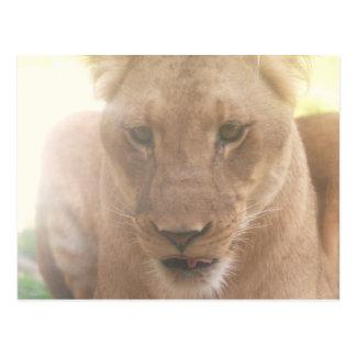 Lioness Profile Postcard