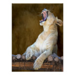 Lioness Roar or Yawn Photo Portrait Posters