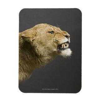 Lioness roaring 2 rectangular photo magnet