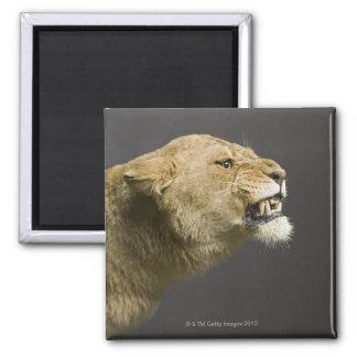 Lioness roaring 2 square magnet