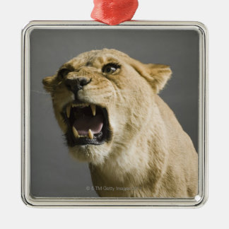 Lioness roaring christmas ornament