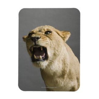Lioness roaring rectangular photo magnet