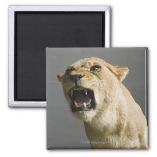 Lioness roaring square magnet