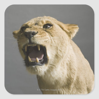 Lioness roaring square sticker