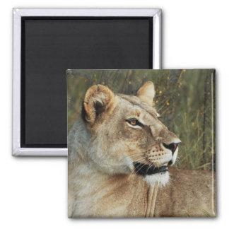 Lioness safari magnets - customize