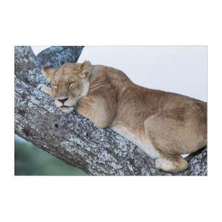 Lioness Sleeping in Tree Acrylic Print